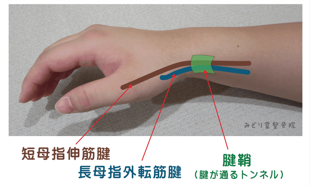 短母指伸筋腱と長母指外転筋腱と腱鞘