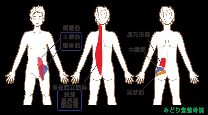 ギックリ腰に関連する筋肉の図