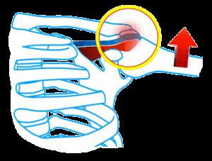 肩関節の筋肉と骨格の図