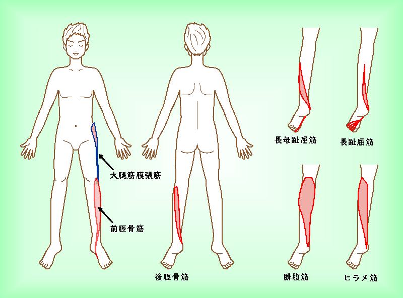 シンスプリントに関連する筋肉